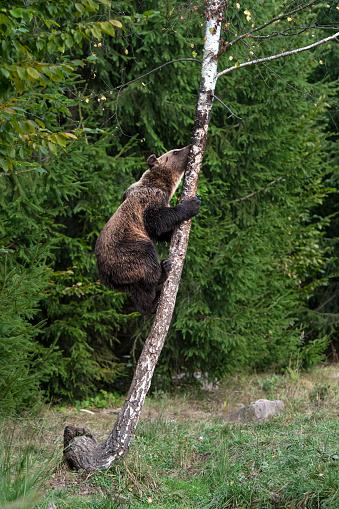 Eurasian Brown Bear cub (ursus arctos arctos) is climbing on a tree.    Location: Hargita Mountains, Carpathians, Transylvania, Romania.