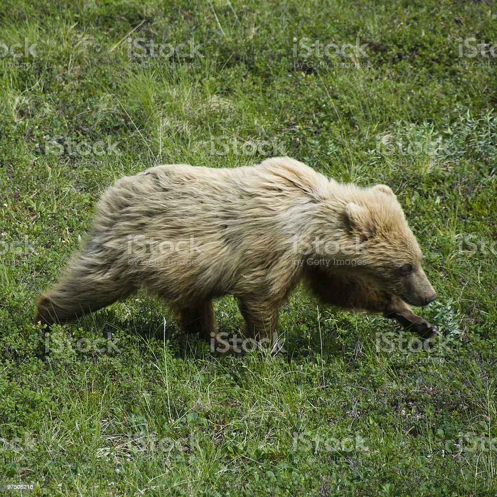 Brown Bear Cub in Stride royalty-free stock photo