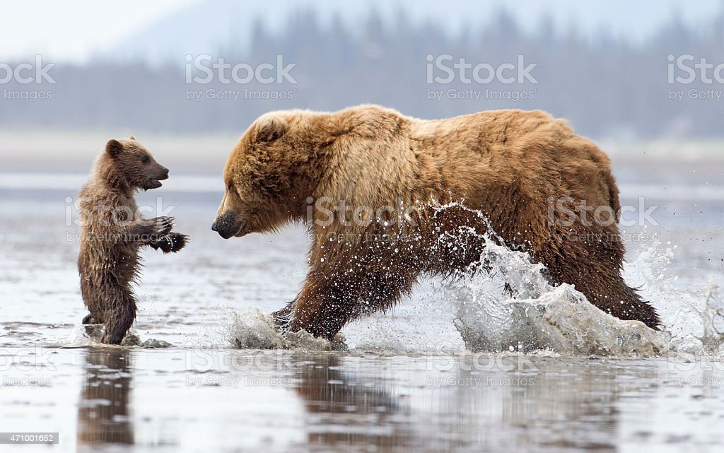 Brown Bear Cub in Trouble stock photo