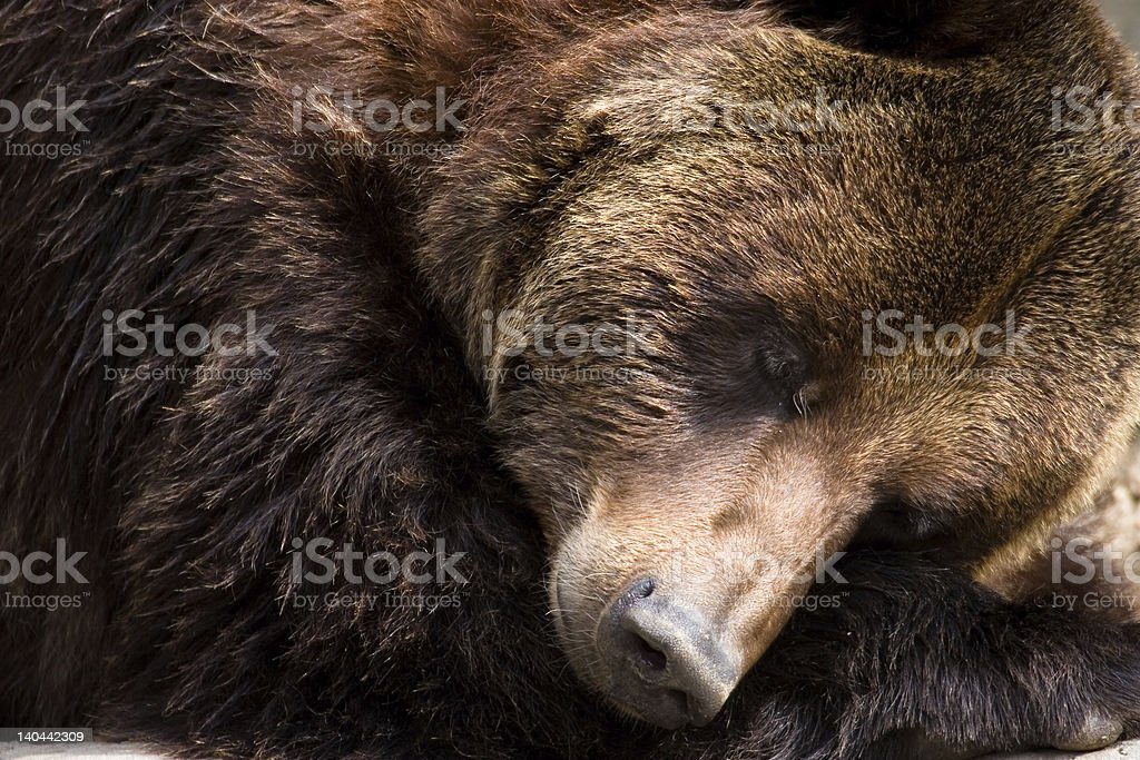 brown bear cub royalty-free stock photo