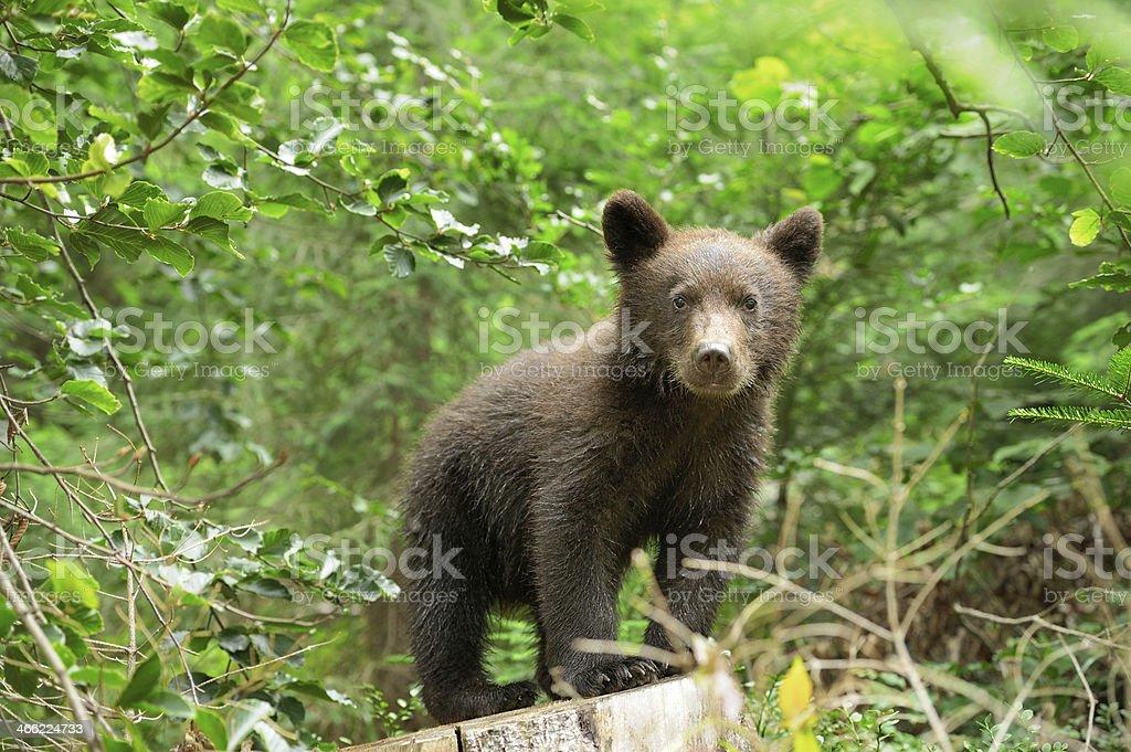 Brown bear cub stock photo