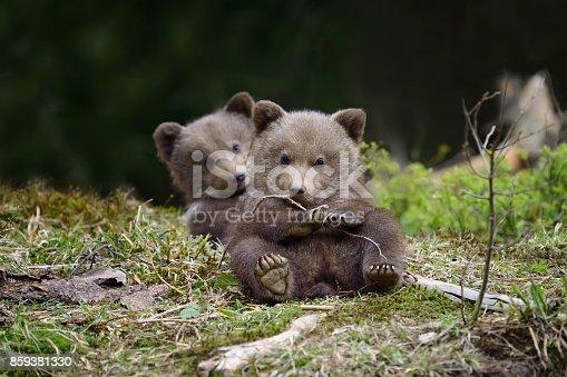 istock Brown bear cub 859381330