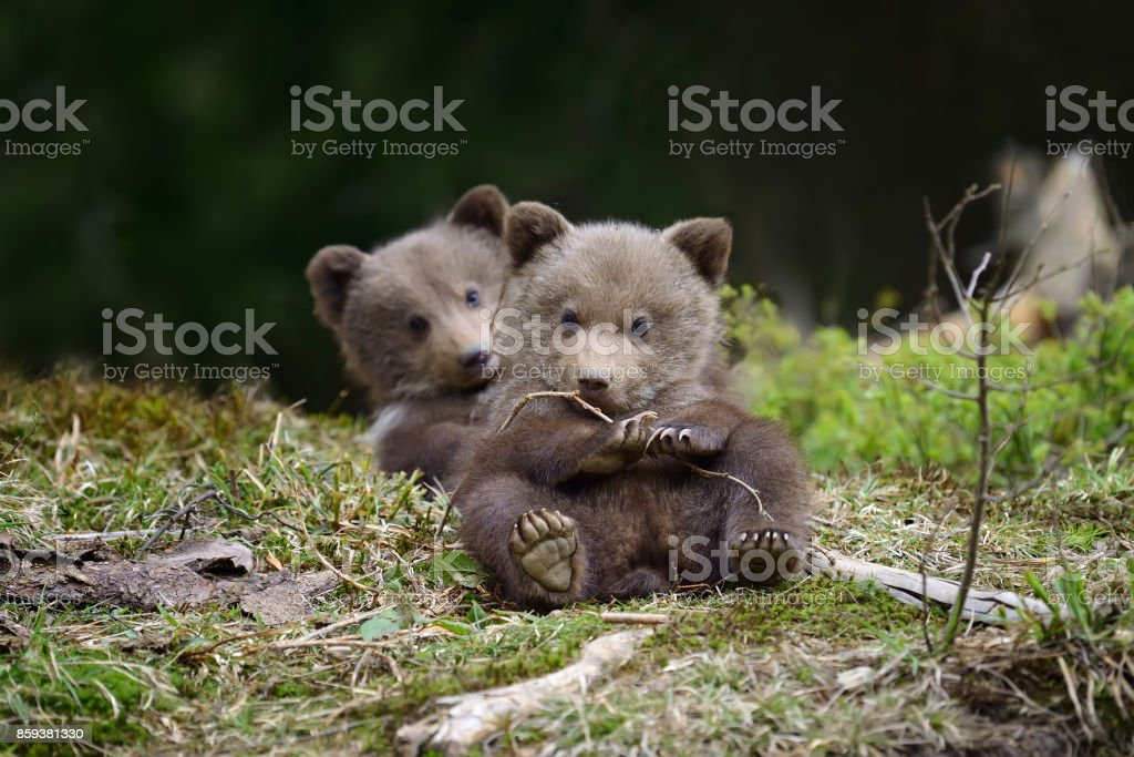 Brown bear cub – Foto
