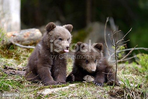 istock Brown bear cub 870947750