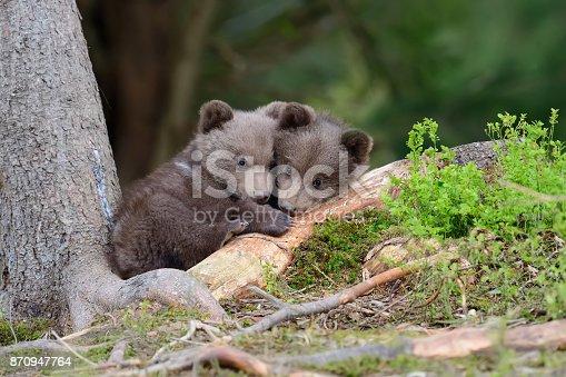 istock Brown bear cub 870947764