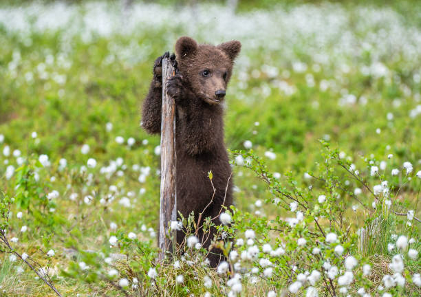 Brown bear cub playing on the field among white flowers. stock photo