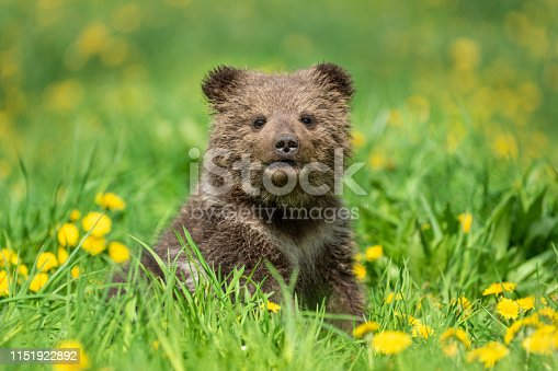 istock Brown bear cub playing on the summer field 1151922892