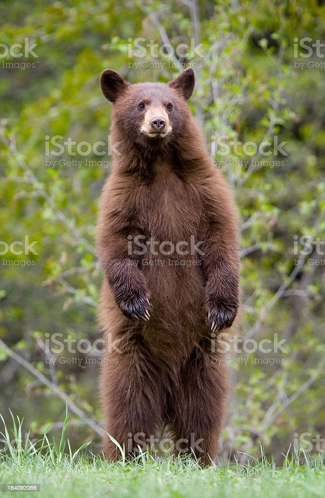 Brown bear cub standing on hind legs  stock photo