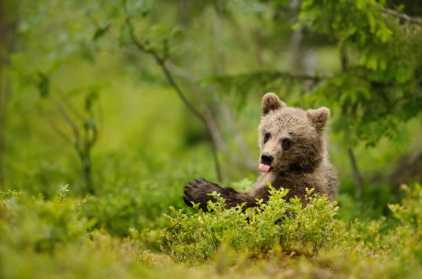 Brown bear cub sticking out the tong stock photo