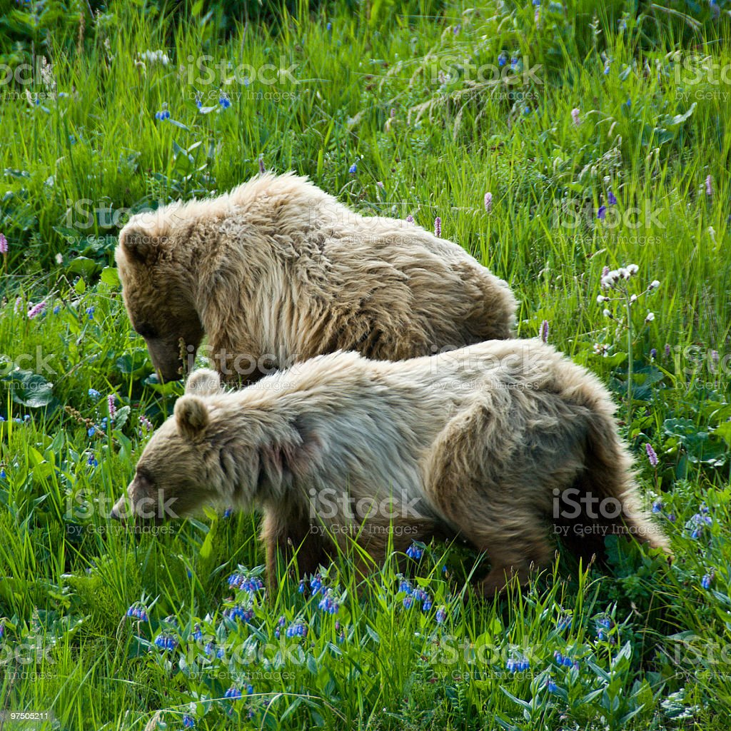 Brown Bear Cubs and Bluebells royalty-free stock photo