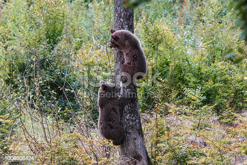 istock Brown bear cubs climbs a tree in Transylvania 1006806424