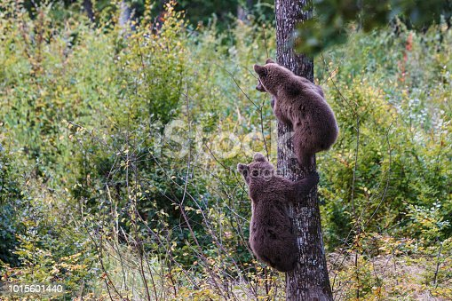istock Brown bear cubs climbs a tree in Transylvania 1015601440