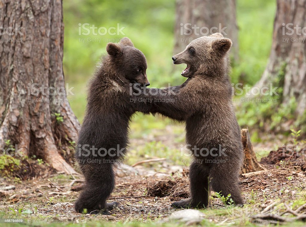 Brown bear cubs stock photo