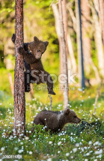 istock Brown bear cubs playing in the forest. 1060814308