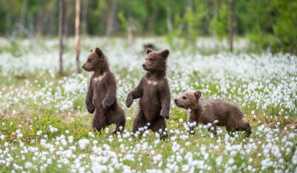 Brown bear cubs playing on the field among white flowers stock photo