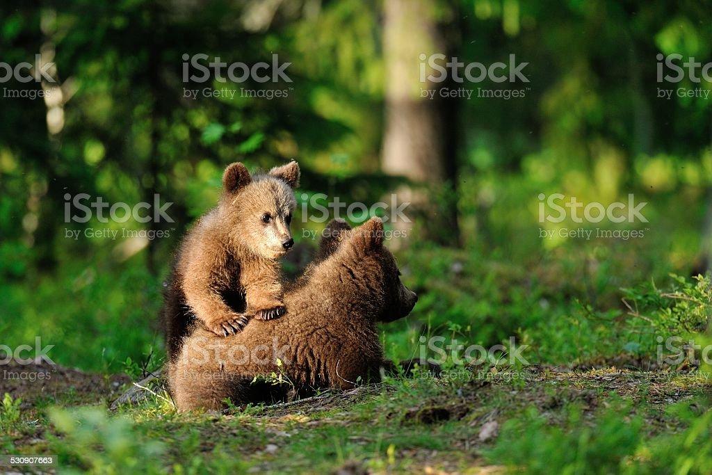 Brown bear cubs playing stock photo