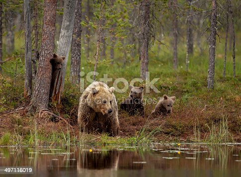 istock Brown bear cubs playing with mum, Finland 497116019