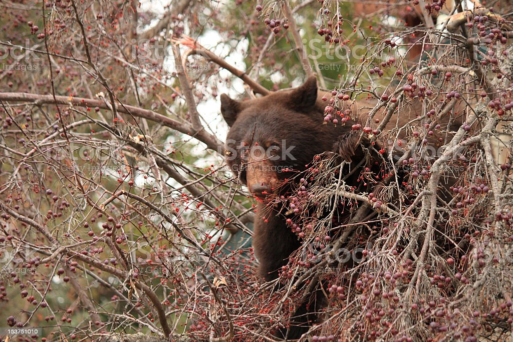Brown Bear eating in an Alamy Crab Apple Tree stock photo
