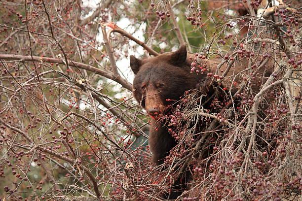 ヒグマ食事を Alamy カニリンゴの木 ストックフォト