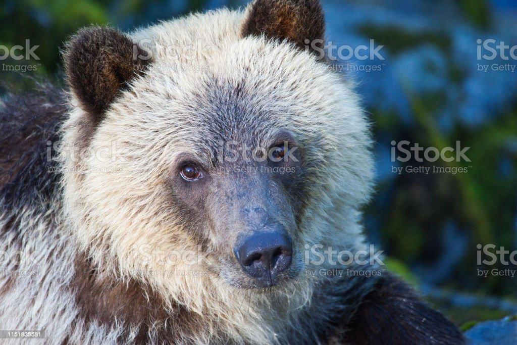 Brown bear face - Royalty-free Animal Body Part Stock Photo