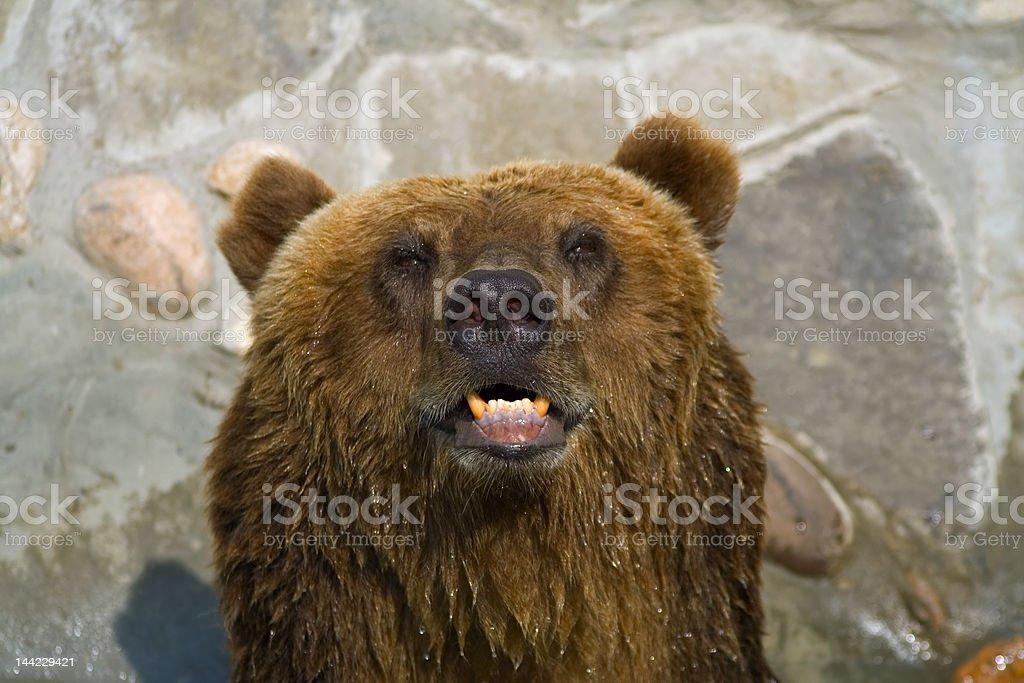 brown bear face royalty-free stock photo