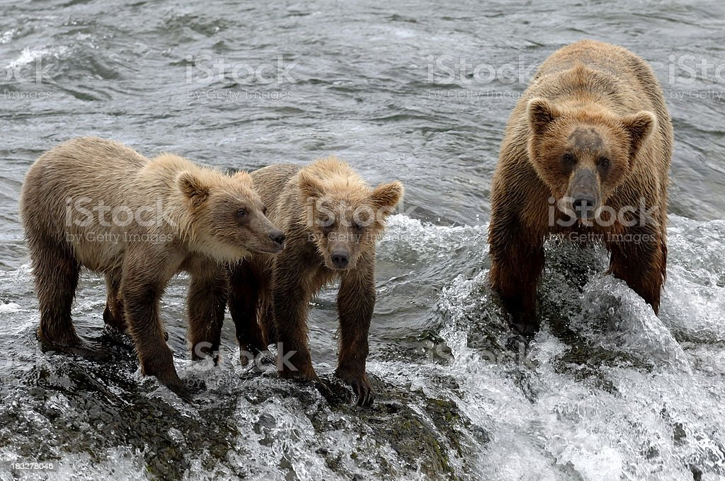 Brown Bear Family royalty-free stock photo
