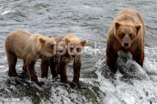 istock Brown Bear Family 183278046