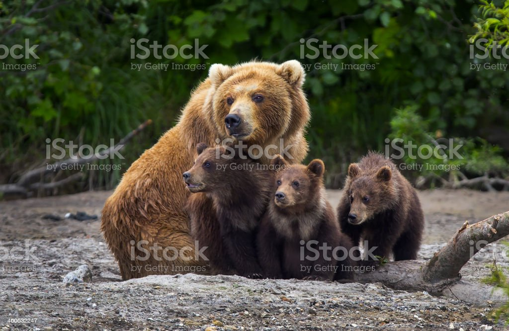 Brown Bear familia - foto de stock