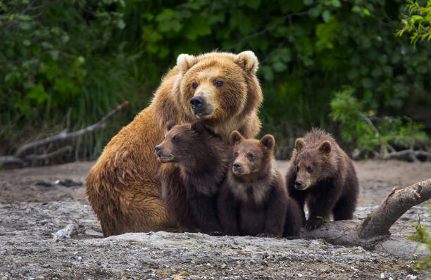 brown bear family - bears 個照片及圖片檔