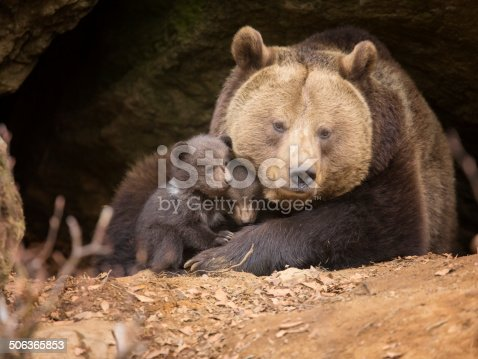 istock Brown bear family 506365853