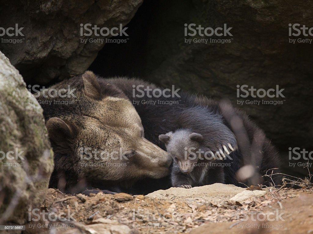 Brown bear family stock photo