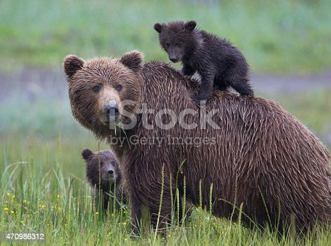 istock Brown Bear Family with Cub on Mothers Back 470986312