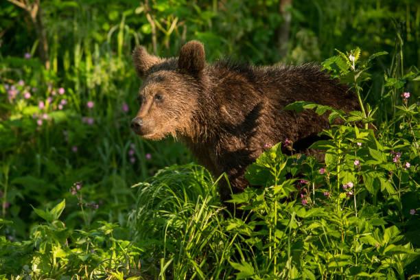 Brauner Bär (Ursus arctos), der auf einer Waldwiese füttert. Bieszczady. Polen – Foto