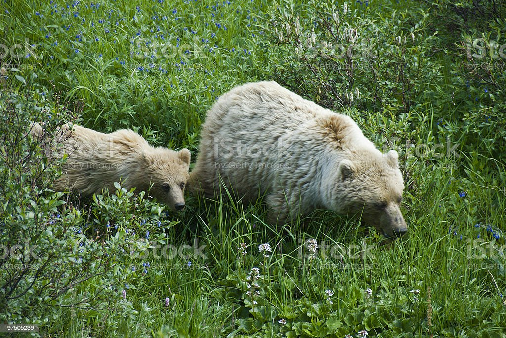 Brown Bear Feeding with Cub royalty-free stock photo