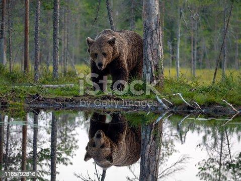 A European Brown Bear (Ursus arctos), reflected in a lake in Finland
