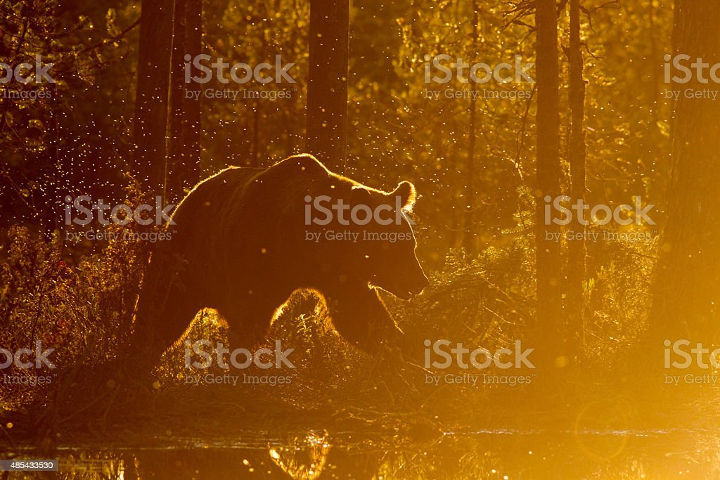 Brown Bear Finland 免版稅 stock photo