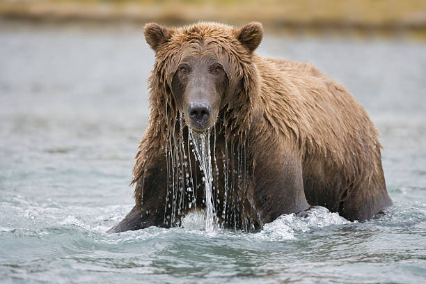 urso-pardo-pesca - com os pés na água - fotografias e filmes do acervo