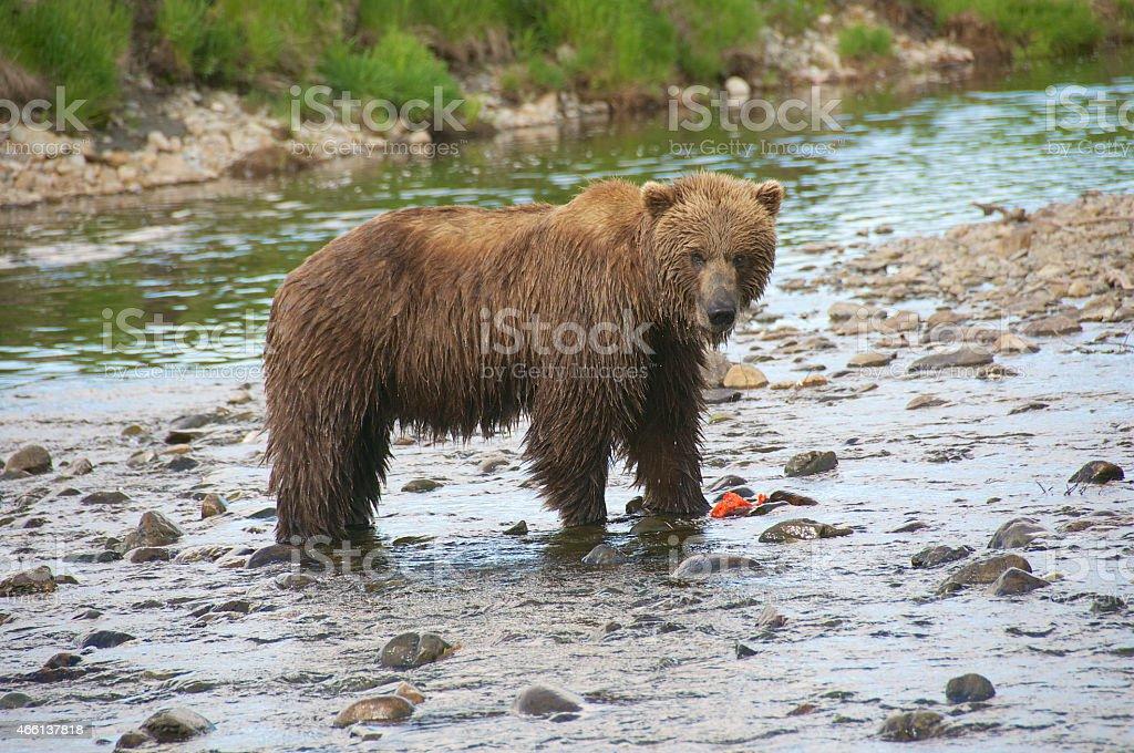 Brown Bear Fishing Salmon in Alaskan Creek stock photo