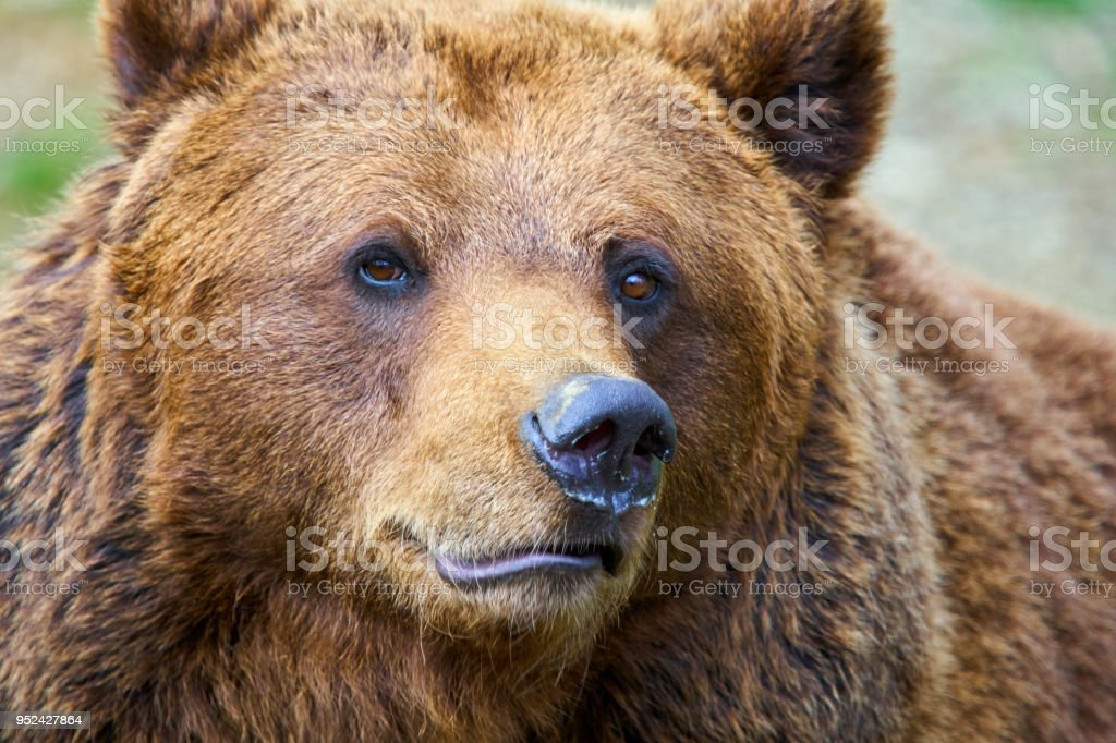 Brown bear from Pyrenees stock photo