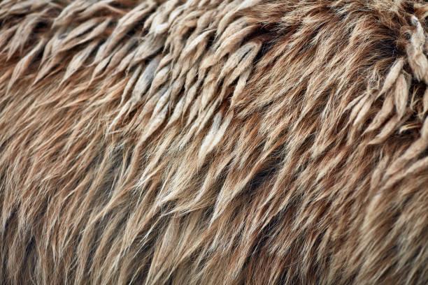 갈색 곰 (우수 스 arctos) 모피 텍스처. 야생 동물 - 모피 뉴스 사진 이미지