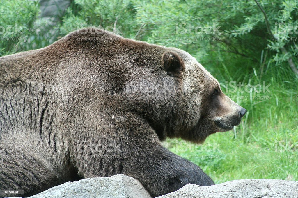 Brown Bear - Grizzly stock photo