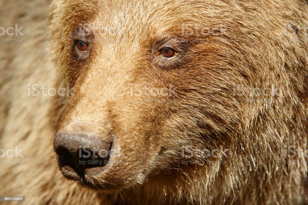 Brown bear head detail. Wildlife background royalty-free stock photo