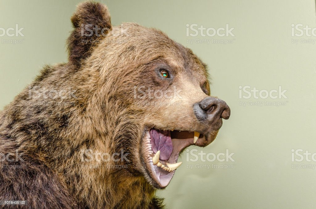 Stuffed brown bear head with a snarling mouth and big white teeth