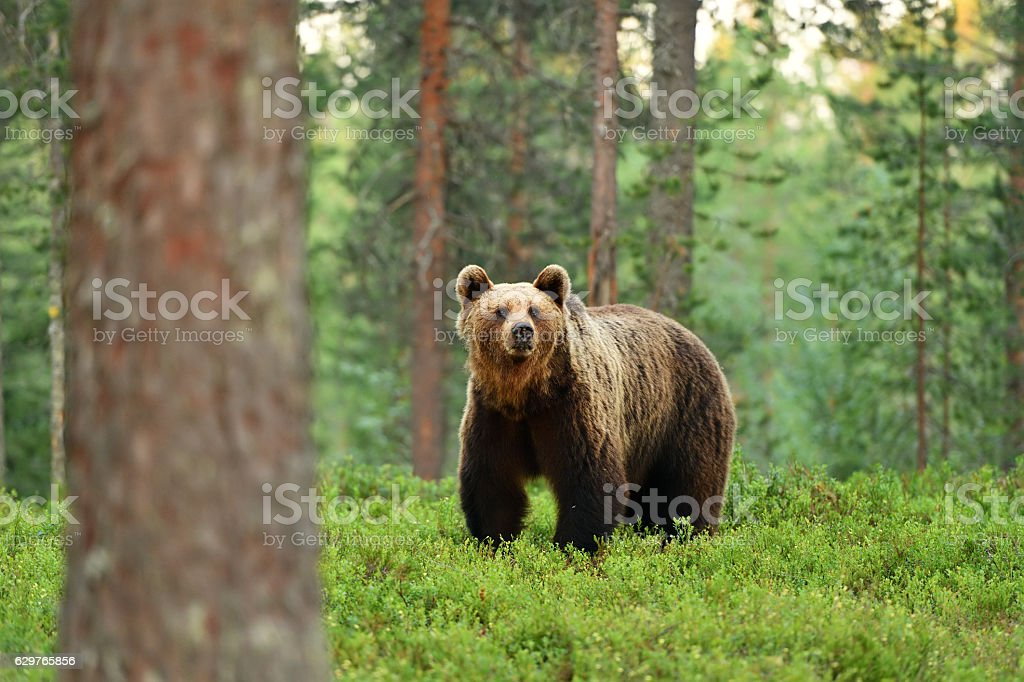 brown bear (ursus arctos) in a forest landscape – Foto