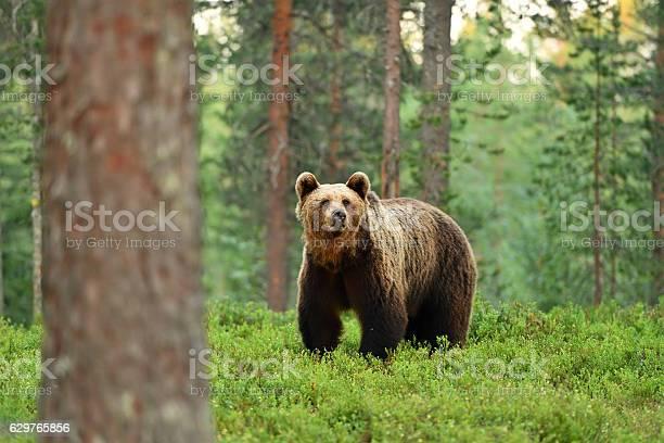 brown bear (ursus arctos) in a forest landscape