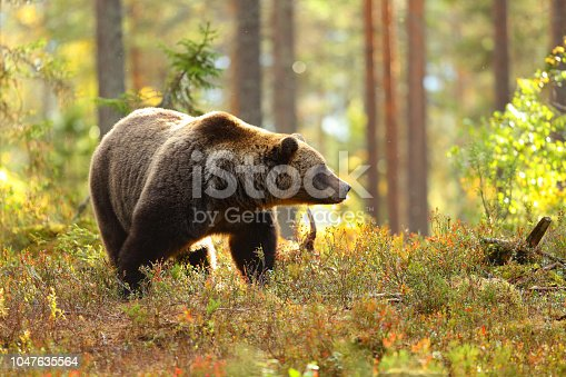 Portrait of a big brown bear in a colorful forest looking at side in autumn