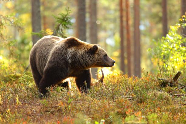 orso bruno in una foresta che guarda di lato - fauna selvatica foto e immagini stock