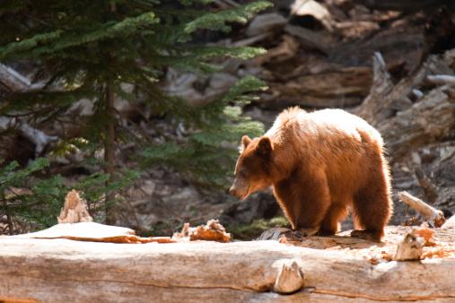 Brown bear (Ursus arctos) in a forest