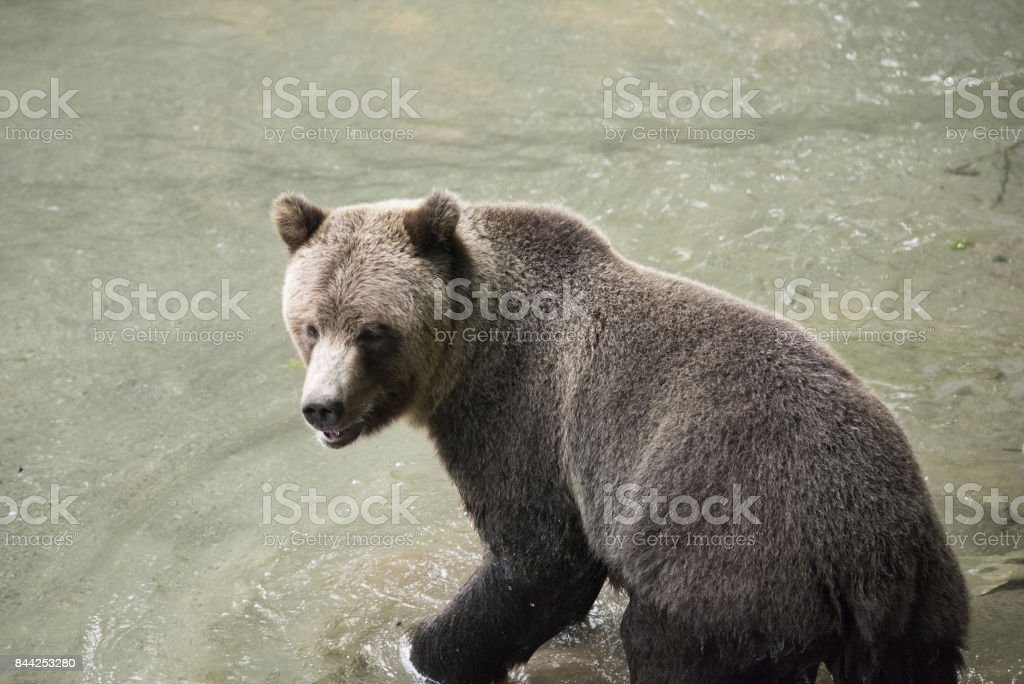 Brown bear in a stream stock photo