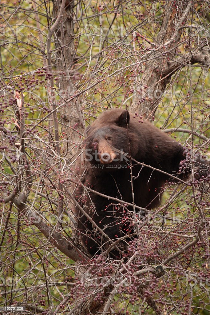 Brown Bear in an Alamy Crab Apple Tree stock photo